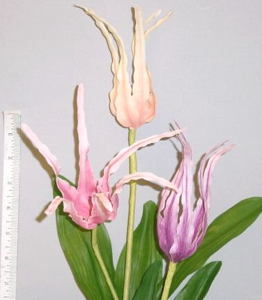 Tulipa Conuta for home d
